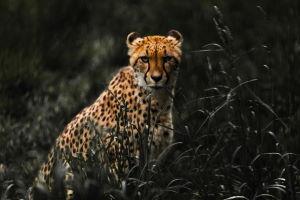 Zwięrzęta cheetah po polsku - słownictwo informatyczne
