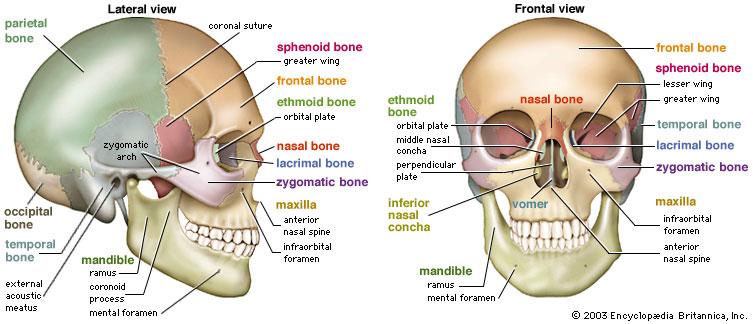 Forearm anatomy bones